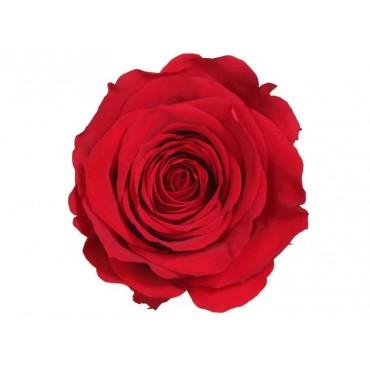 Rose Stabilizzate | 7 Colori